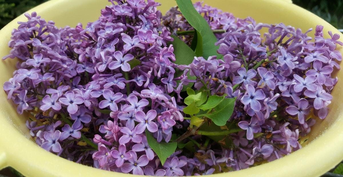lila Flieder Blüten für Fliedergelee