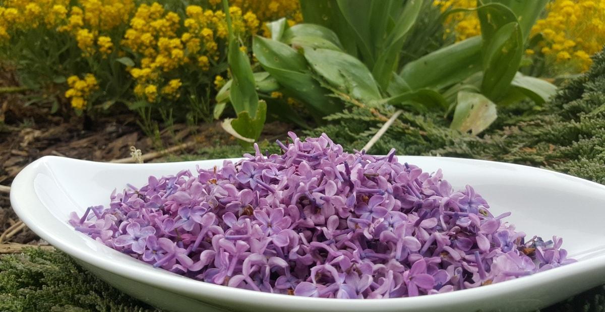 für den Fliedergelee - 700 g lila Flieder Blüten