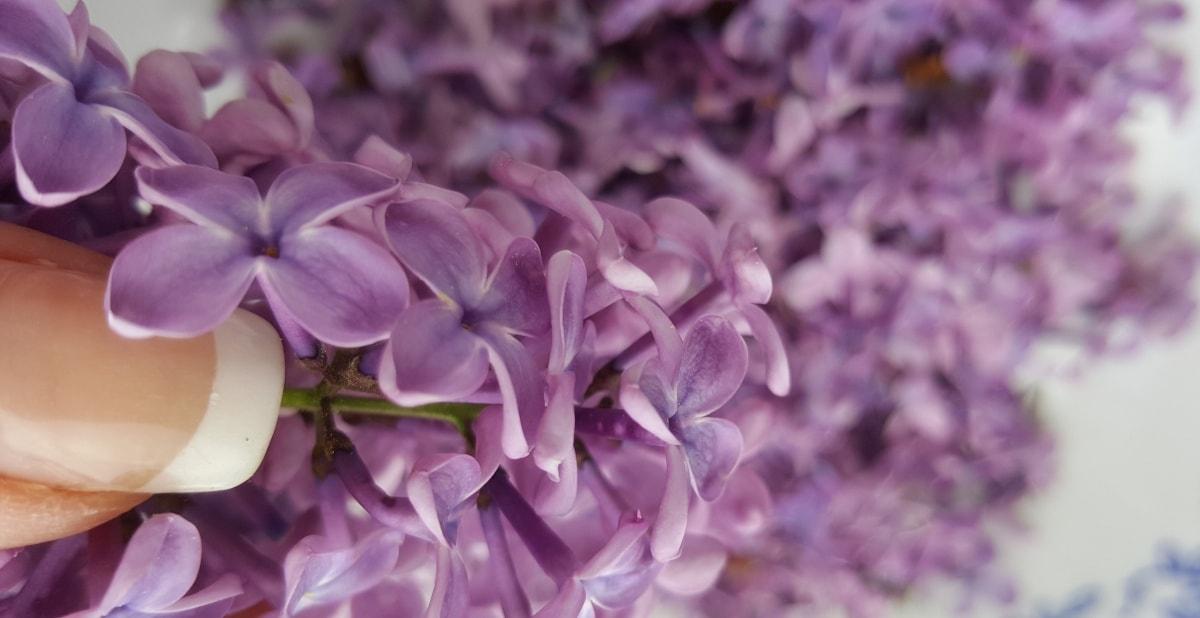 lila Blüten vom Flieder