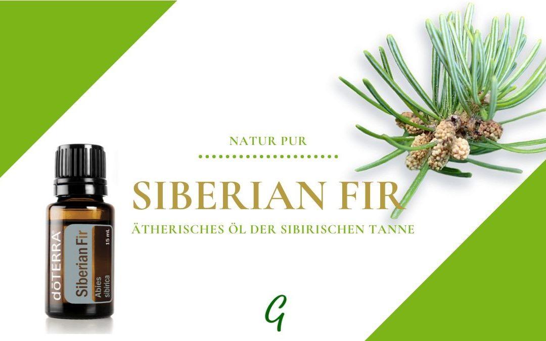 Siberian Fir – ätherisches Öl der Sibirischen Tanne